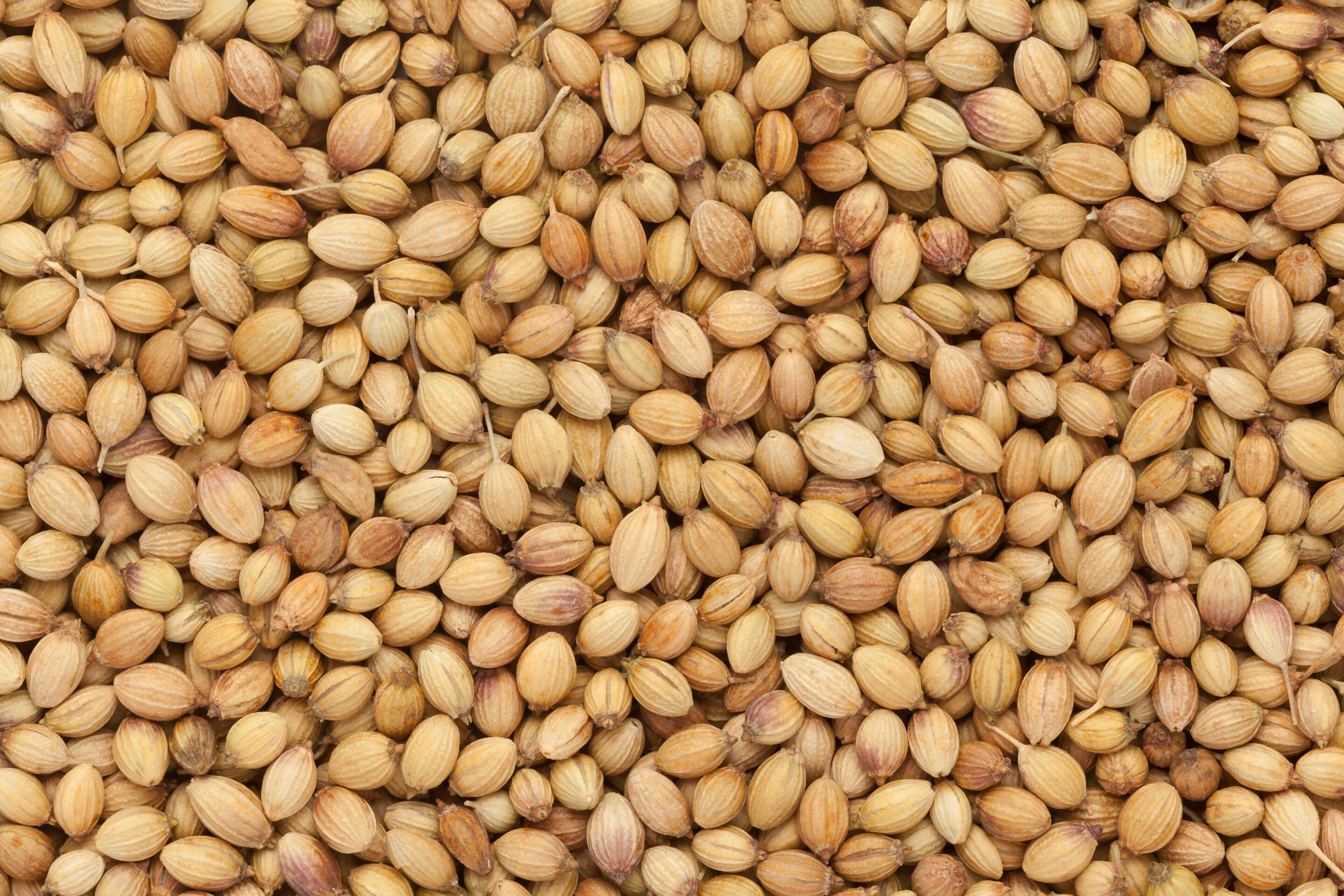 Did you know that Coriander is one of the oldest species on record? It can be traced back for thousands of years!