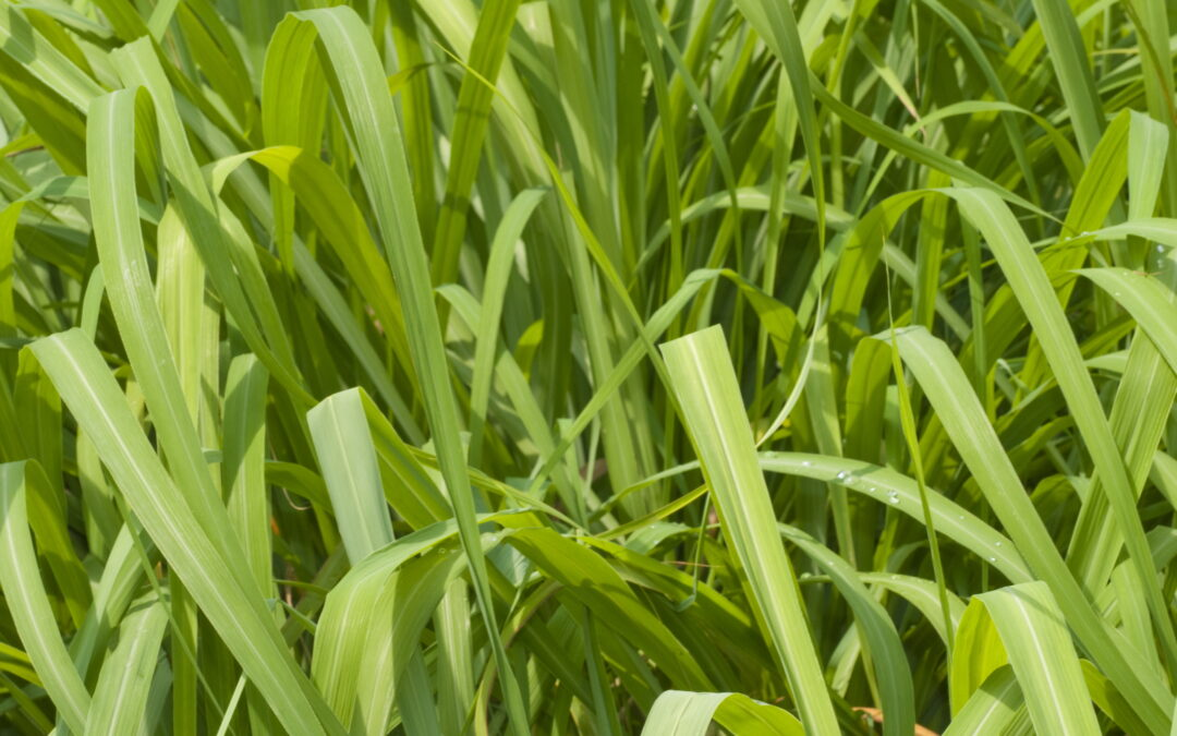 Did you know that Citronella Oil acts as a repellent by masking the human fragrances that insects find appealing?