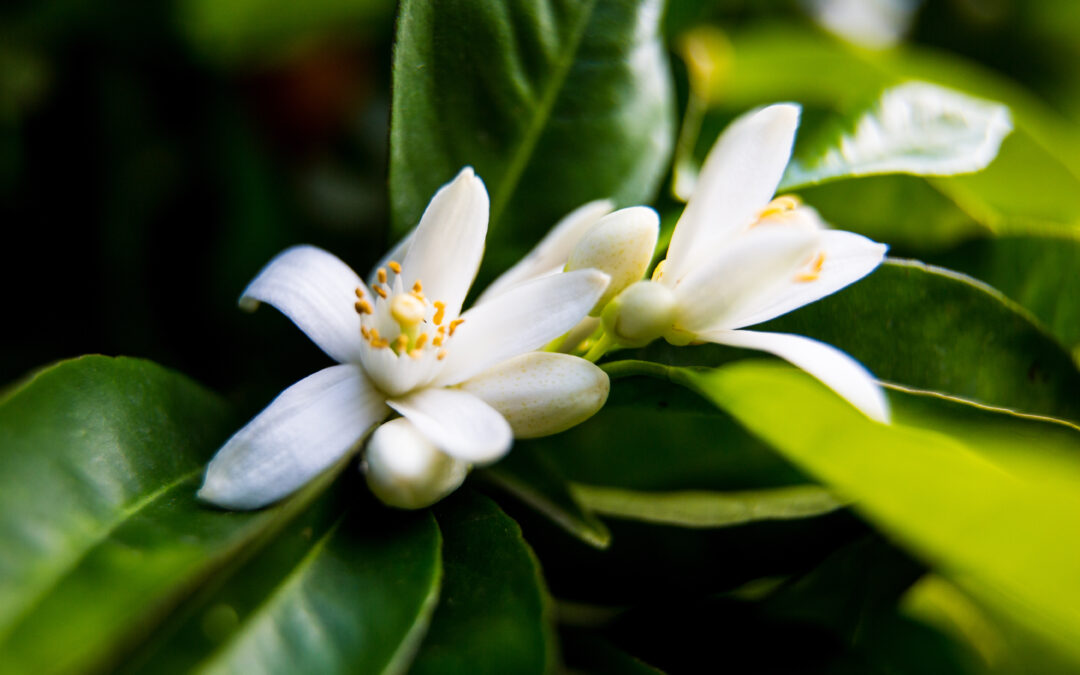 Did you know that the name of the Neroli Essential Oil comes from a princess in the 17th century?
