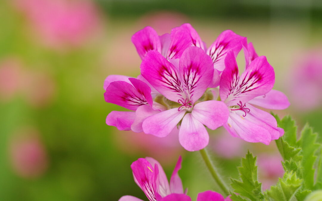 Did you know that it's not the flowers that carry Geranium's powerful scent, but the leaves?